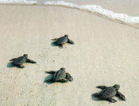 CLICK to enlarge baby Hawksbill turtles