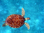 The glorious red turtle
